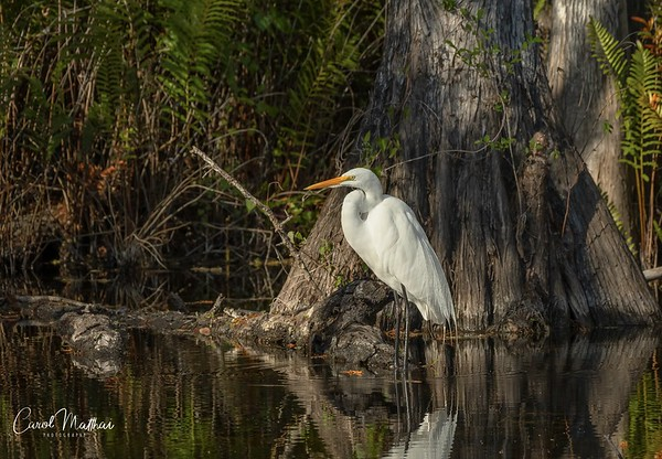 Great Egret Reflection with tree