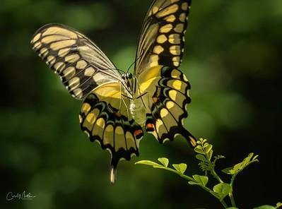 swallow tail Sream