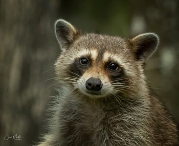 Raccoon eye to eye