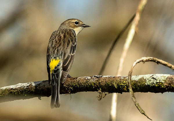 Warbler with a yellow spot
