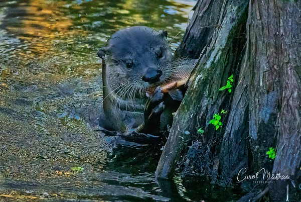 otter with yummy dinner