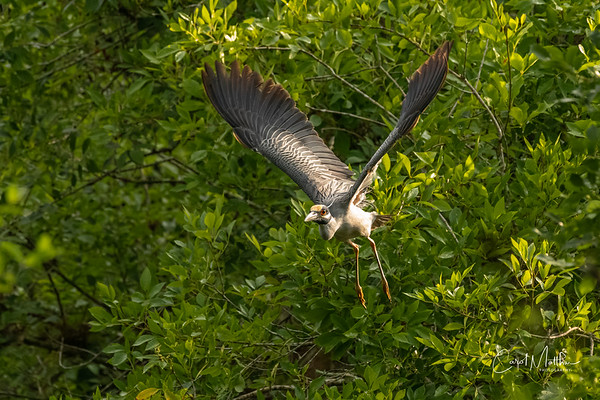 Yellow-crowned Night heron nest buidling-36