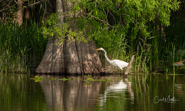 Egret on early morning stroll