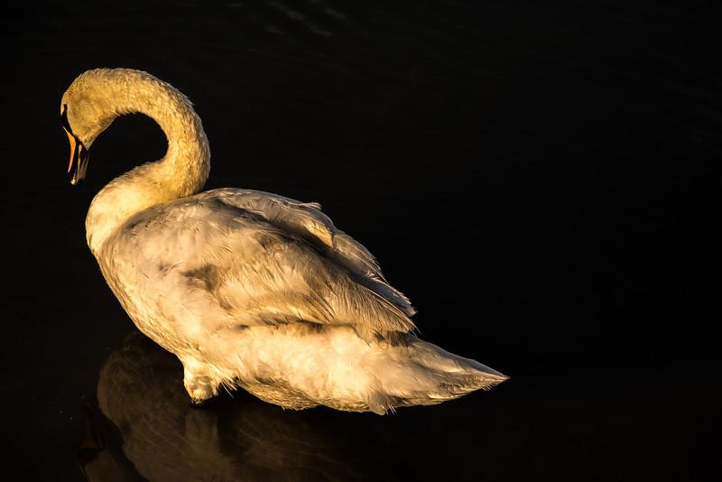 Six Swan Shots