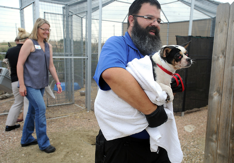 Joe Quinn, animal control sergeant with the Larimer Humane Society, right, carries a Chihuahua to a truck while working with other staff Tuesday, July 26, 2016, to transfer some dogs to other shelters after they rescued 63 Chihuahuas from a home breeder situation in southern Larimer County. The owner surrendered the dogs to the humane soceity. (Photo by Jenny Sparks/Loveland Reporter-Herald)
