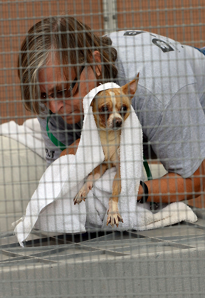 Misty Morgan, left, a disaster animal response team volunteer, wraps a chihuahua in a towel Tuesday, July 26, 2016, while working with Larimer Humane Society staff to transfer some dogs to other shelters after they rescued 63 Chihuahuas from a home breeder situation in southern Larimer County. The owner surrendered the dogs to the humane soceity. (Photo by Jenny Sparks/Loveland Reporter-Herald)