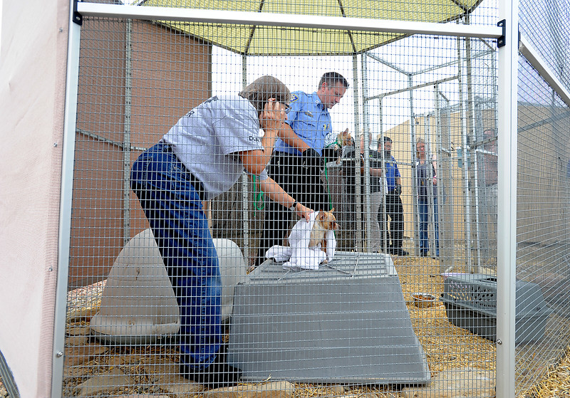 Misty Morgan, left, a disaster animal response team volunteer, and Larimer Humane Society Capt. Bill Porter, work Tuesday, July 26, 2016, to transfer some Chihuahuas to other shelters after they rescued 63 Chihuahuas from a home breeder situation in southern Larimer County. The owner surrendered the dogs to the humane soceity. (Photo by Jenny Sparks/Loveland Reporter-Herald)