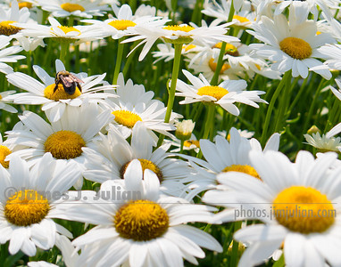 Field of Daisies 1