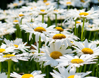 Field of Daisies 3