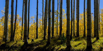 Backlit Forest near Kebler Pass