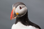 Perfectly Posed Puffin