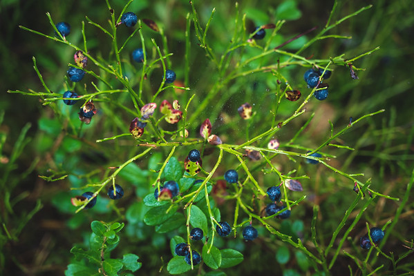 Bilberries Are Not Blueberries