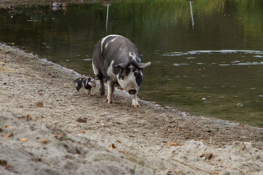 Fredriksdal. Early October. Linderödssvin (Landrace from southern Sweden). Sow and youngster.
