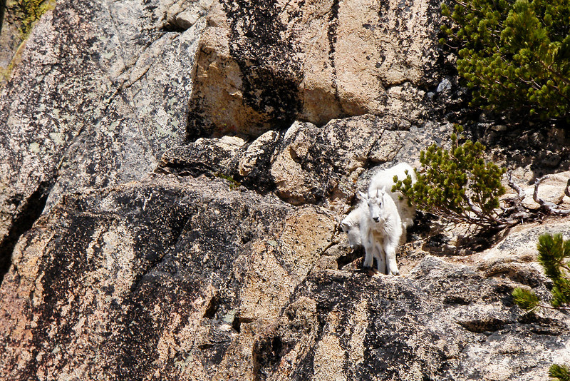 A close up of the young goats.