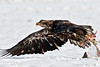 Immature Bald Eagle carting off remains of a snow goose.