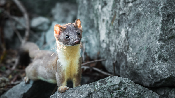 The Watching Weasel