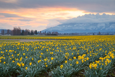 Daffodils at dawn