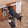 Sled Dog Puppies/ Musher's Camp (Gregg Gray)