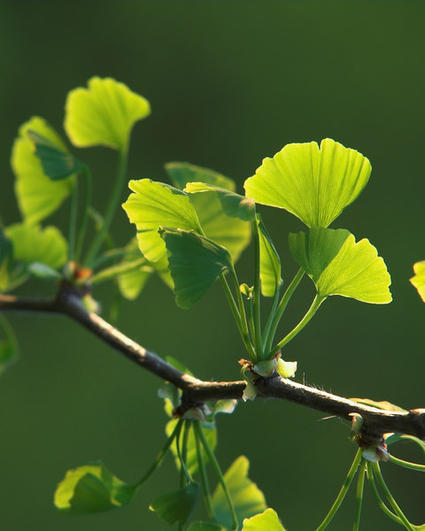 Ginkgo leaves in the spring.