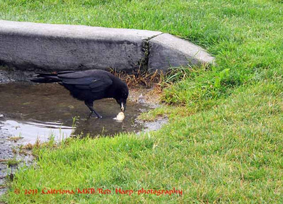crow softens a hard piece of bread in a puddle of water