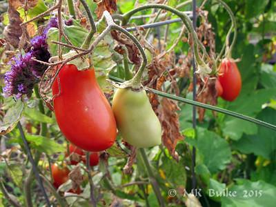 odd tomatoes