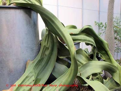 The huge Welwitschia mirabilis