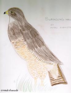 Swainson's Hawk - Mitali Khanzode