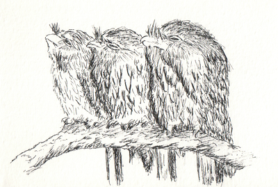 Another sketch of tawny frogmouths for someone special.