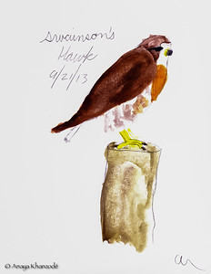 Swainson's Hawk in watercolors by Anaya