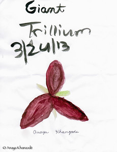 Giant Trillium - Watercolors by Anaya