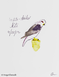 White-tailed Kite in watercolors by Anaya