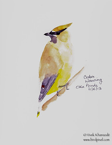 Cedar Waxwing - Watercolors