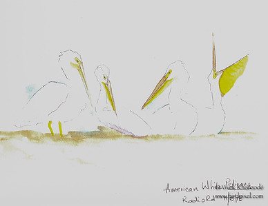 American White Pelicans - Watercolors