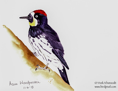 Acorn Woodpecker - Watercolors