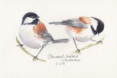 Chestnut-backed Chickadee - February, 2014