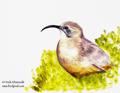 California Thrasher - Watercolors