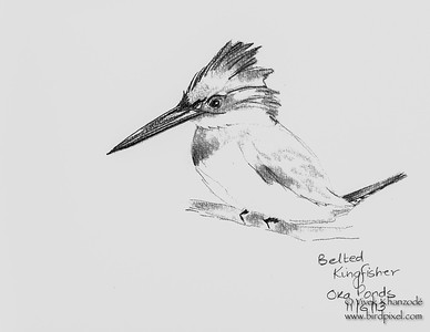 Belted Kingfisher - Black & White - Watercolors