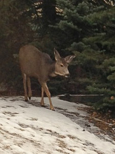 Mule Deer near the Douglas Fir Lodge