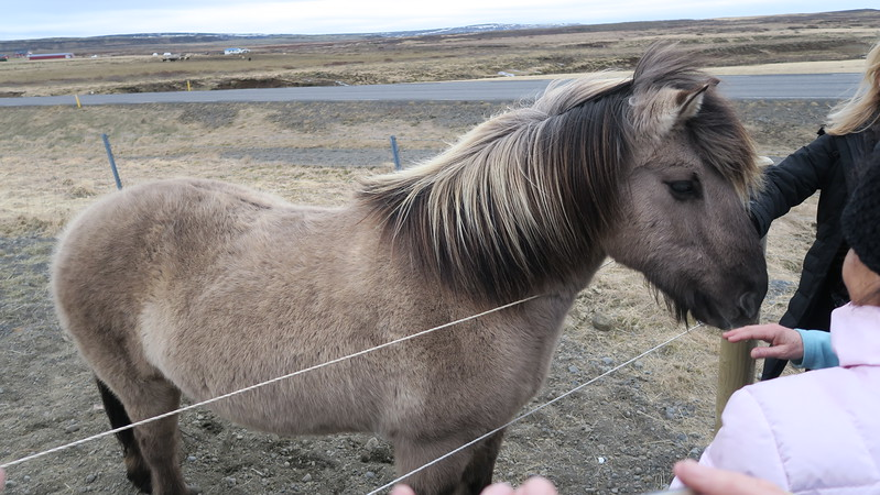 Icelandic horse (they don't call them ponies)