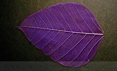Purple Bodhi Life Lines