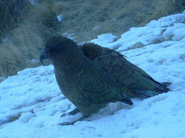 """A couple of Keas: <a href=""""http://www.bbc.co.uk/nature/animals/features/132index.shtml"""" target=""""_new"""">""""Prepare to be astonished by the kea, a parrot whose intelligence can be compared to that of the higher apes.""""</a>. You can see the intelligence in their cheeky manners."""