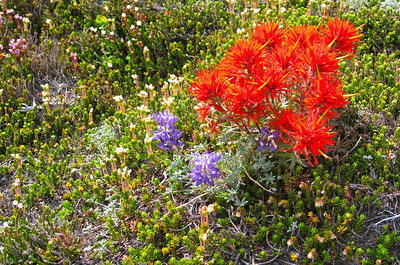 High altitude lupine & Paintbrush I guess?? Looks different w/yellow spikeys.
