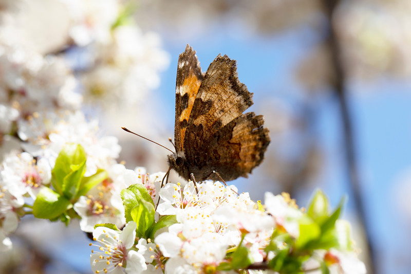 Brush-footed Butterfly (Nymphalidae)