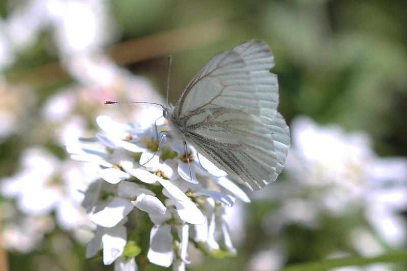 White Butterfly (Pieris)