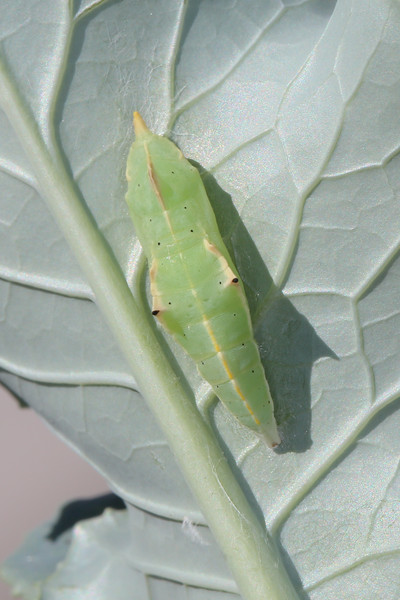 Cabbage White Pupa (Pieris rapae)