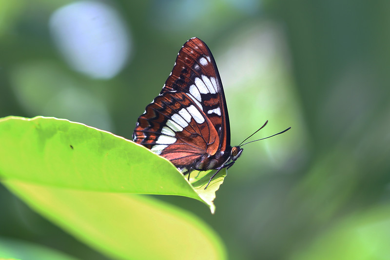Admiral Butterfly (Nymphalidae)