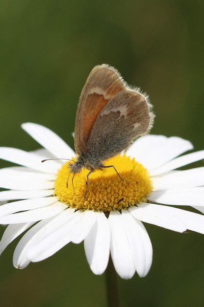 Common Ringlet Butterfly (Coenonympha tullia)