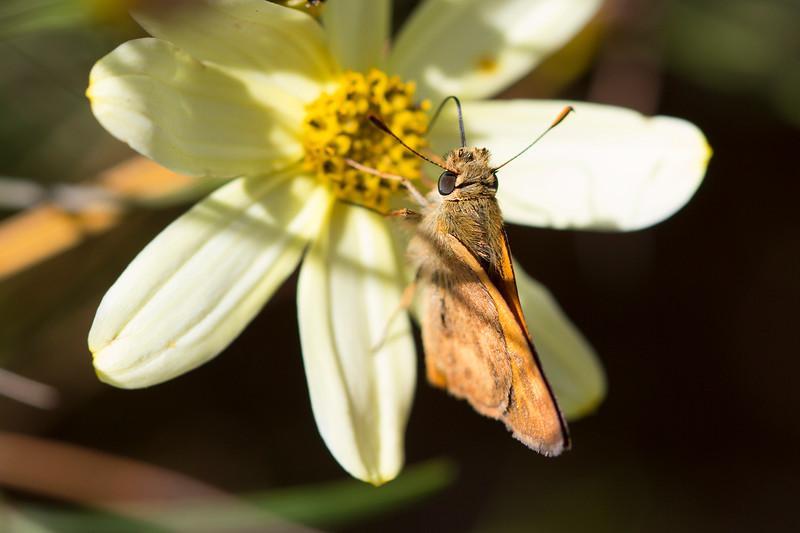 Skipper Butterfly (Hesperiidae)