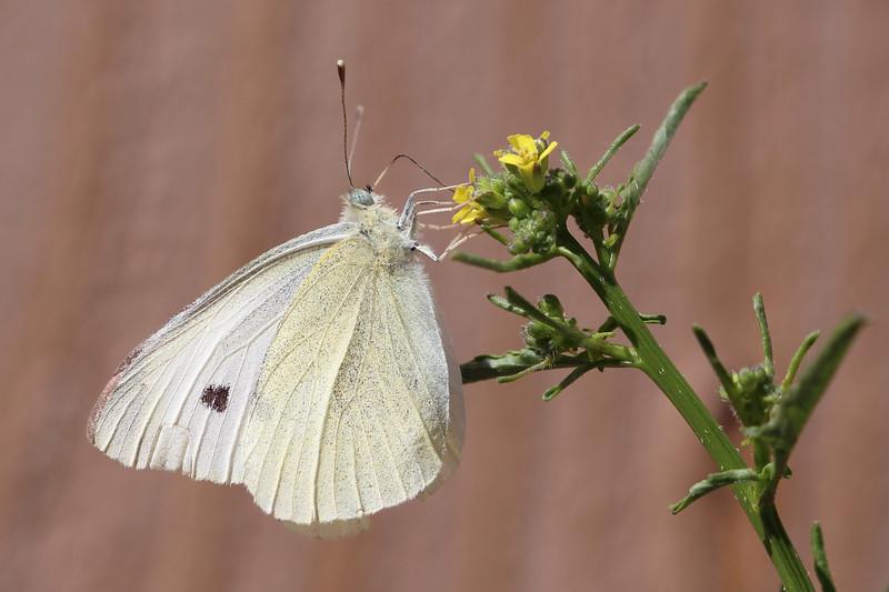 White Butterfly (Pierinae)