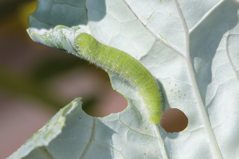 Cabbage White Caterpillar (Pieris rapae)